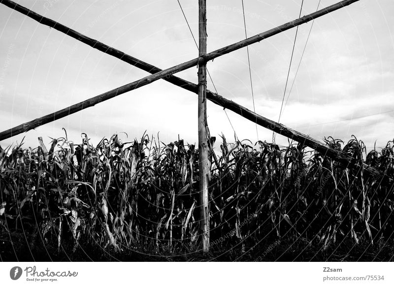 Autumn field sw Field Wood Pole Maize Scaffold linkage Sky Nature Black & white photo Landscape Back