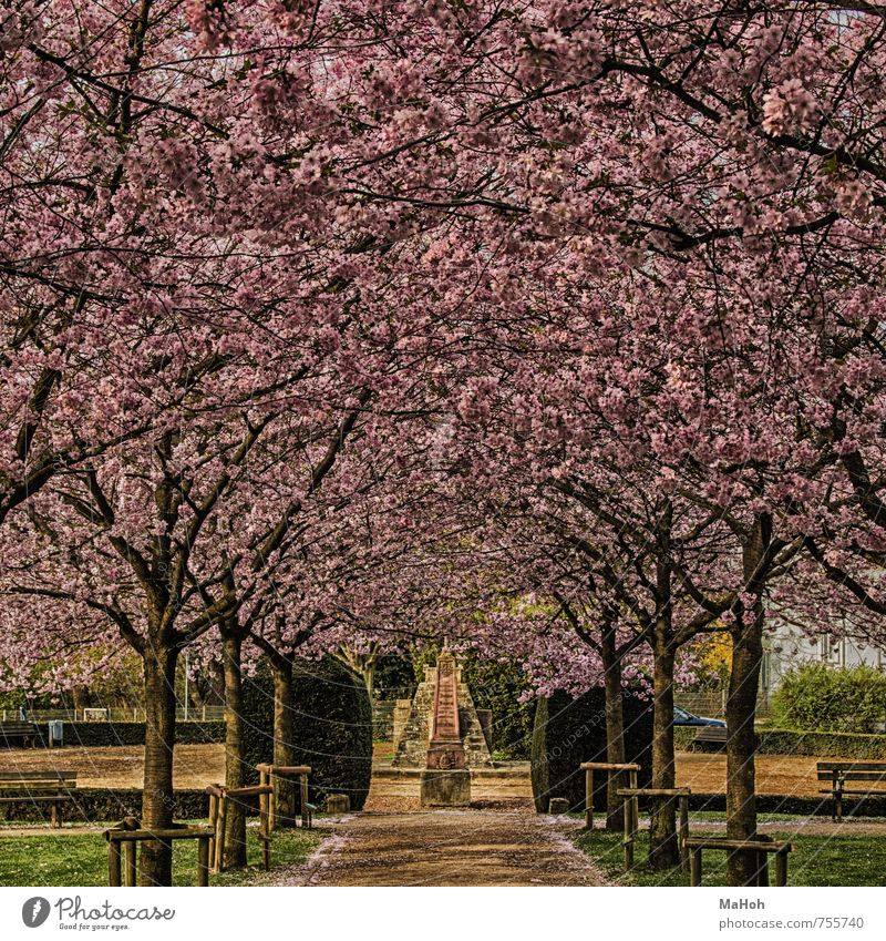 Nature Tree Relaxation Calm Spring Going Pink Park Leisure and hobbies Blossoming Break Fragrance Shame Spring fever