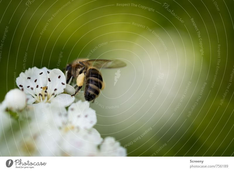 backpack Nature Plant Animal Flower Blossom Meadow Field Bee 1 Blossoming Fragrance Flying Growth Small Brown Yellow Green White Spring fever Pollen Collection