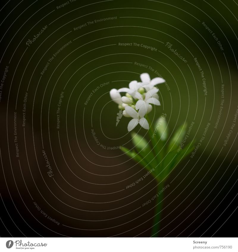 tender master Nature Plant Spring Flower Leaf Blossom Wild plant Woodruff Forest Blossoming Fragrance Growth Elegant Small Green White Spring fever Beautiful