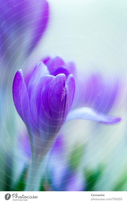 Crocus of Spring Nature Beautiful Green Plant Flower Forest Environment Emotions Meadow Feminine Blossom Natural Moody Elegant Wild