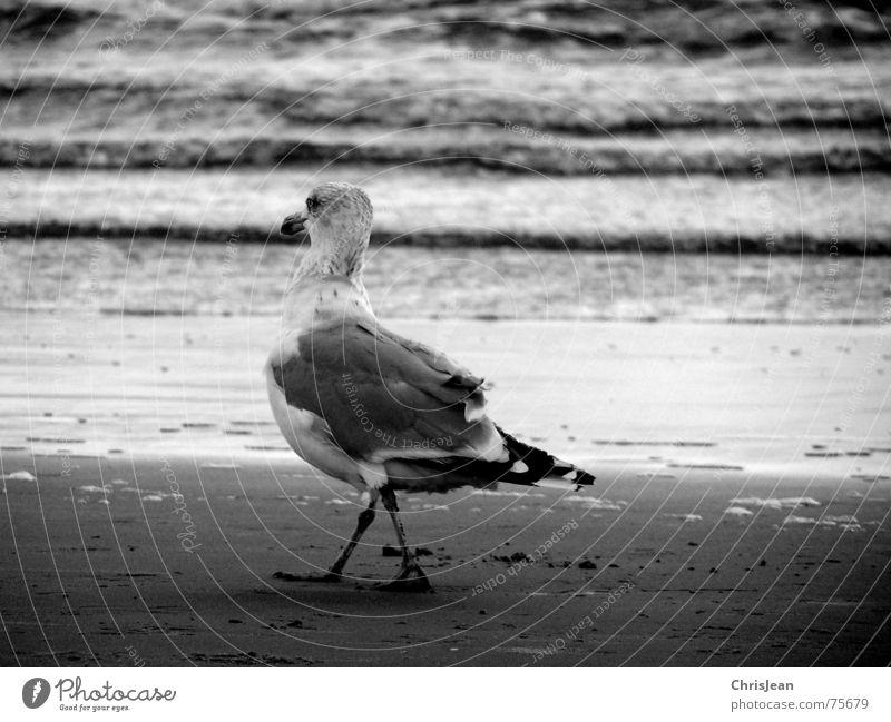 Water White Beach Ocean Black Sand Legs Bird Dance Going Walking Feather Alcohol-fueled Seagull Beak Borkum