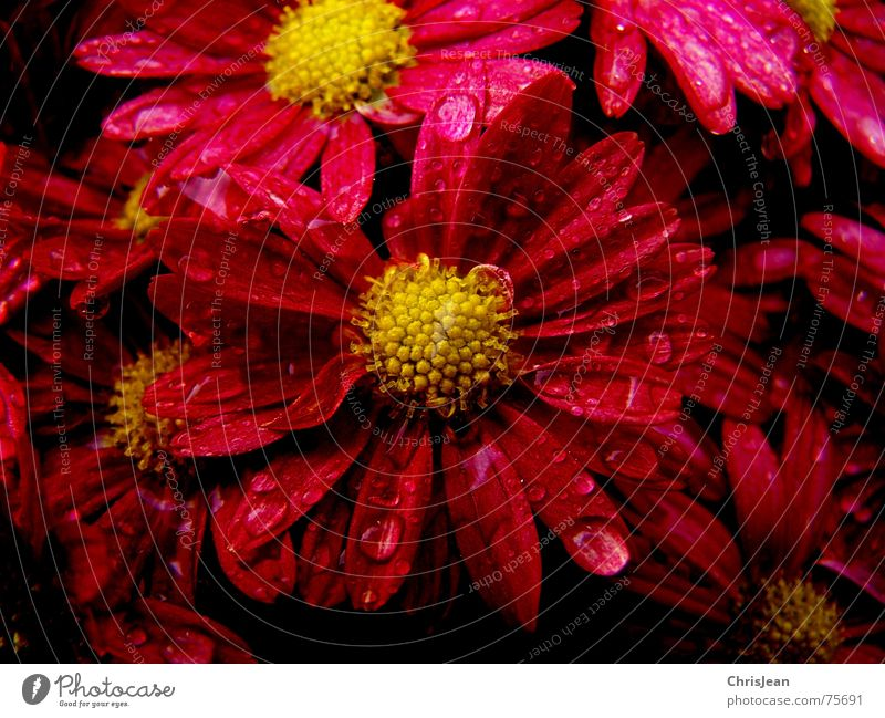 Flower Red Blossom Drops of water Strong Extreme Pollen Blossom leave