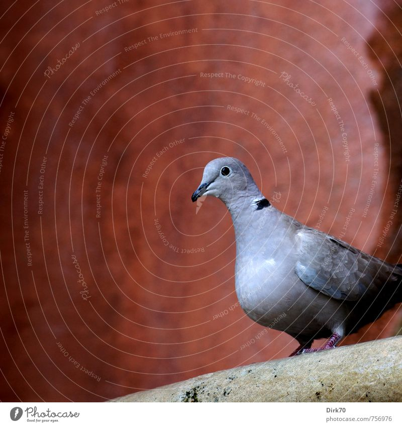 Dove on baroque fountain Autumn Beautiful weather Seville Spain House (Residential Structure) Well Wall (barrier) Wall (building) Animal Wild animal Bird Pigeon