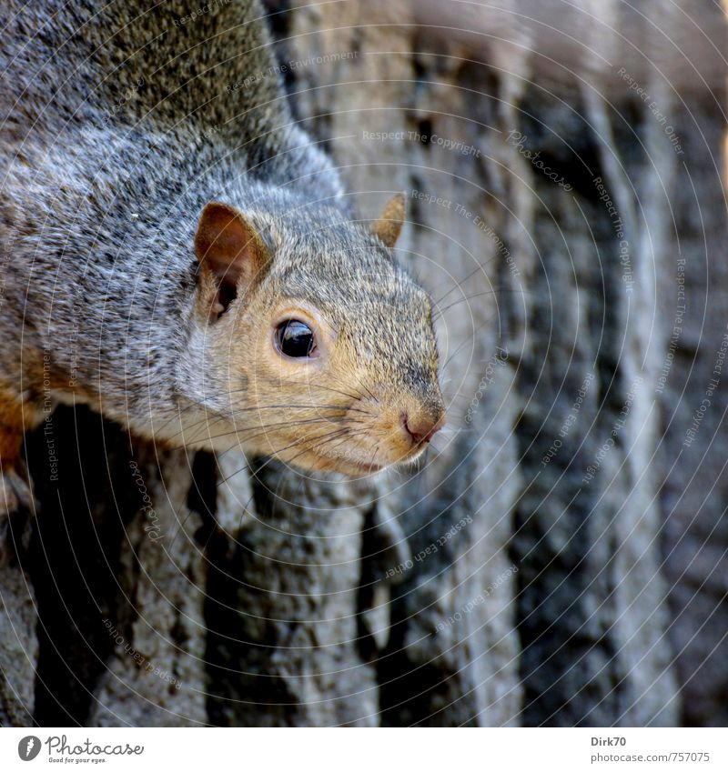 rodent with a nose Environment Animal Autumn Tree Tree trunk Tree bark Park Forest Montreal Canada Wild animal Rodent Squirrel 1 Observe Looking Sports Brash