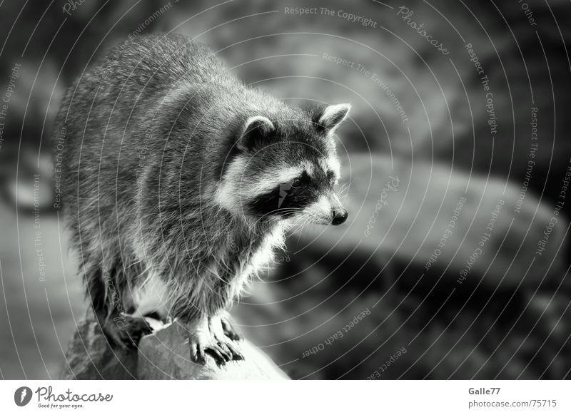 raccoon Raccoon Animal Small Cute Sweet Face mask raccoons bert ralph melissa cyril sneer cedric sneer small bear