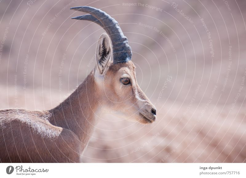I grow horns now! Environment Nature Landscape Animal Summer Beautiful weather Warmth Drought Desert Israel Negev Near and Middle East Wild animal Capricorn