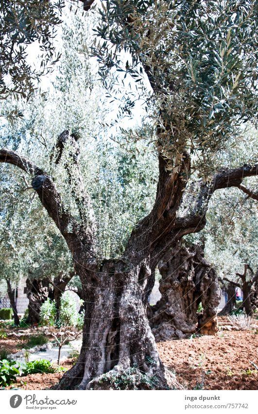 Nature Old Plant Tree Landscape Environment Garden Park Growth Christianity Israel Olive West Jerusalem Olive tree Mount of olives
