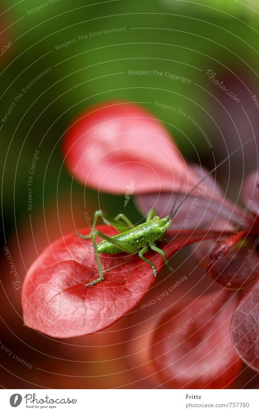 Nature Green Plant Red Animal Baby animal Sit Bushes Insect Locust Flying insect Barberry Long-horned grasshopper Hexapod Great green bushcricket