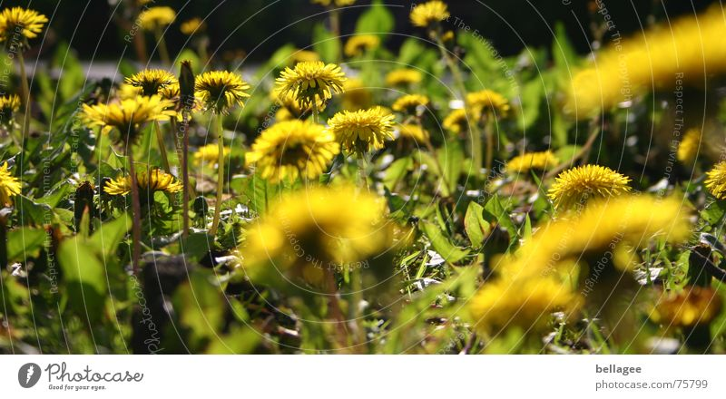 Nature Flower Green Plant Yellow Dandelion Weed