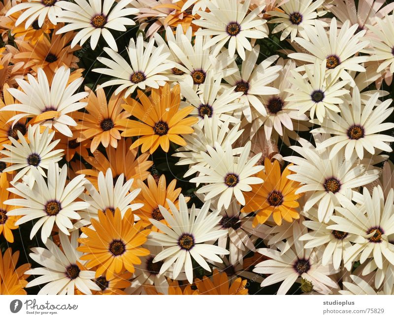 sea of flowers White Flower Blossom Bouquet Orange Nature motif