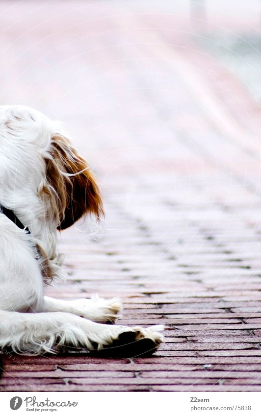 White Red Animal Relaxation Lanes & trails Dog Brown Lie Sweet Floor covering Ear Pelt What Cobblestones Paw Past