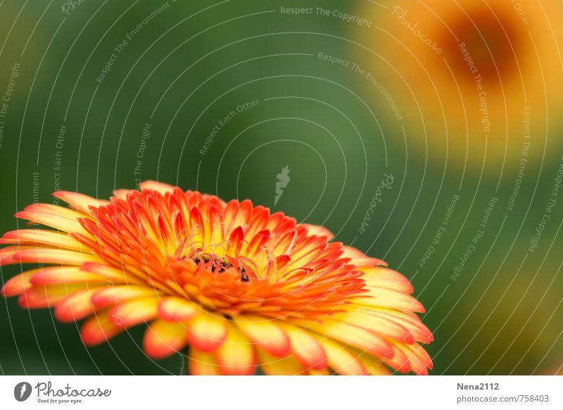 Nature Plant Summer Flower Yellow Environment Blossom Orange Gold Illuminate Blossoming Round Summery