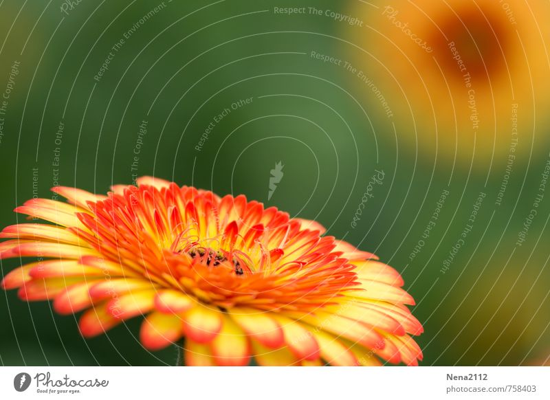summer Environment Nature Plant Flower Blossom Blossoming Illuminate Round Multicoloured Yellow Gold Orange Summery Colour photo Exterior shot Close-up Detail