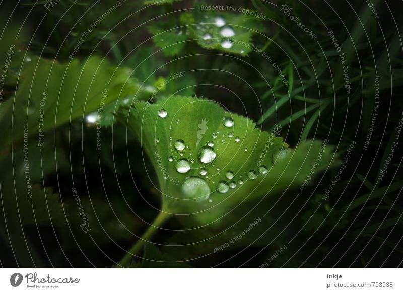 At night in the moonlight lay on a leaf ... Nature Water Drops of water Spring Summer Weather Beautiful weather Rain Leaf Foliage plant Alchemilla vulgaris