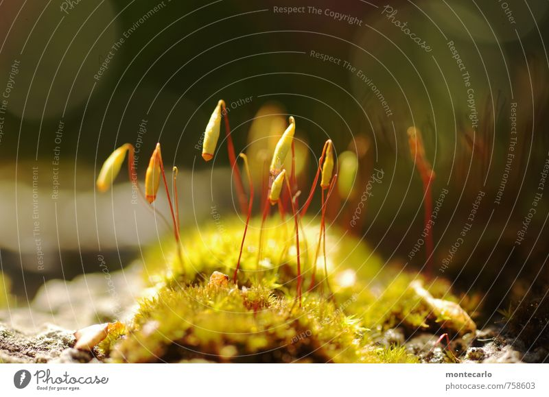 moss Environment Nature Plant Sunlight Moss Blossom Foliage plant Wild plant Thin Authentic Simple Small Near Natural Warmth Soft Green Colour photo