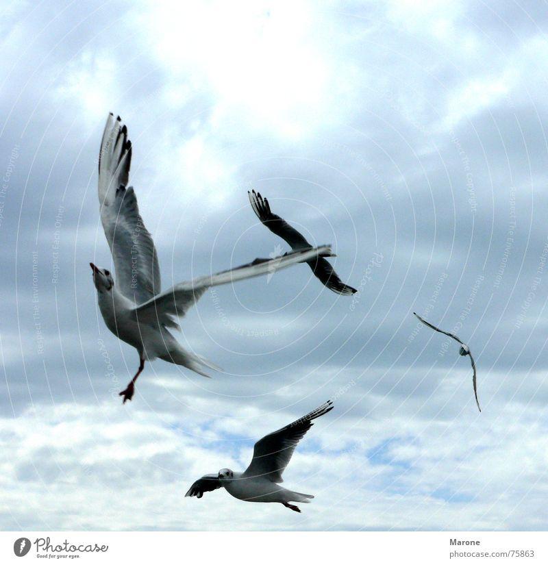 gulls Lake Weightlessness Seagull Clouds Gale Bird Animal Judder Light Sky Sea bird Gust of wind Freedom Aviation Wind Blue Flock Nature seagulls strong wind