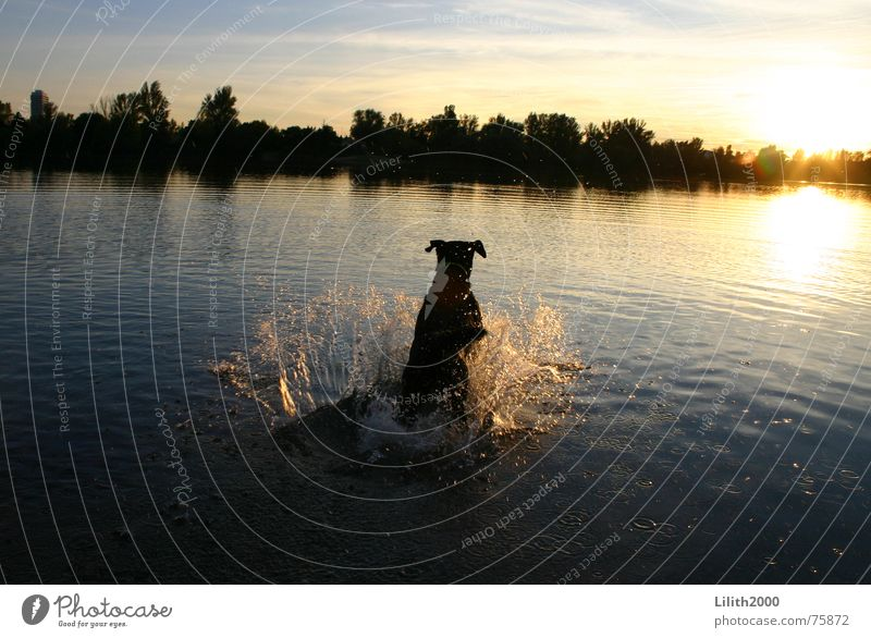 Water Sun Animal Autumn Jump Dog Lake Pond Labrador