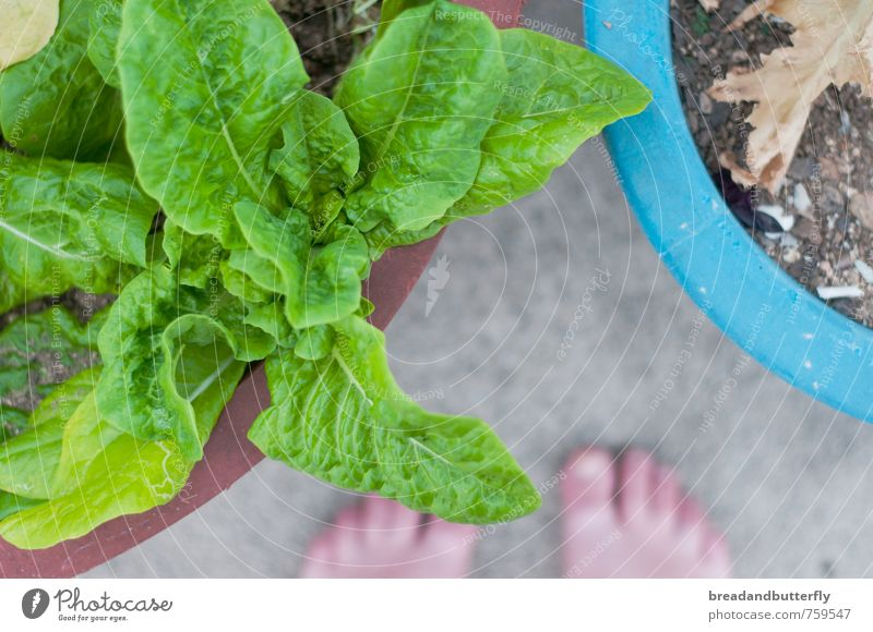 garden happiness Food Plant Agricultural crop Lettuce Garden Natural Green Colour photo Exterior shot Day