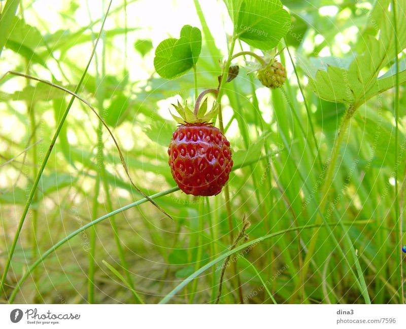 Nature Small Wild animal Strawberry