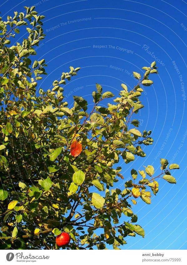 apple Apple tree Tree Leaf Sky Green Autumn Fruit blue appletree Branch