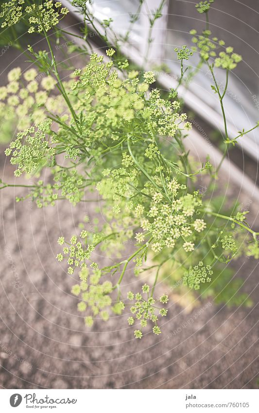 dill Environment Nature Plant Blossom Foliage plant Agricultural crop Dill Dill blossom Garden Esthetic Friendliness Fresh Healthy Delicious Colour photo