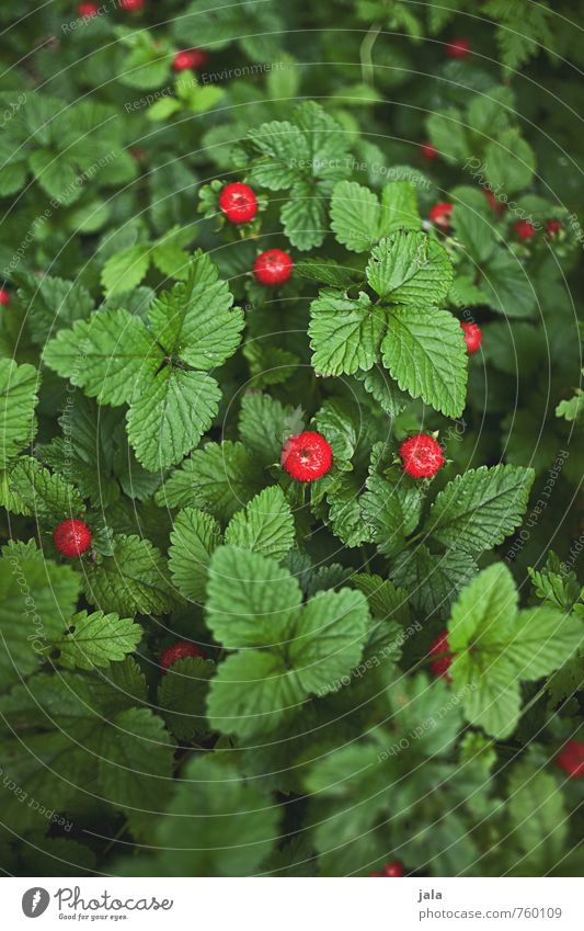 Nature Beautiful Green Plant Red Forest Environment Natural Food Fruit Sweet Delicious Agricultural crop Wild plant Wild strawberry
