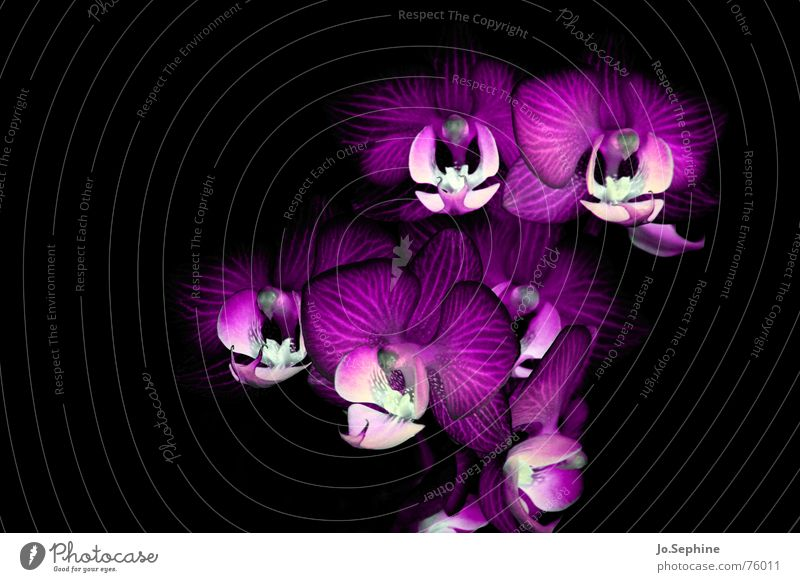 Phalaenopsis Hydrae Life Plant flowers Orchid bleed Threat Wild Fantasy Obscure Low-key Neutral Background Blossom leave Deserted Macro (Extreme close-up)