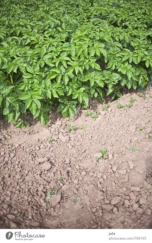 bed of potatoes Environment Nature Plant Leaf Foliage plant Agricultural crop Potatoes Field Fresh Healthy Delicious Natural Colour photo Exterior shot Deserted