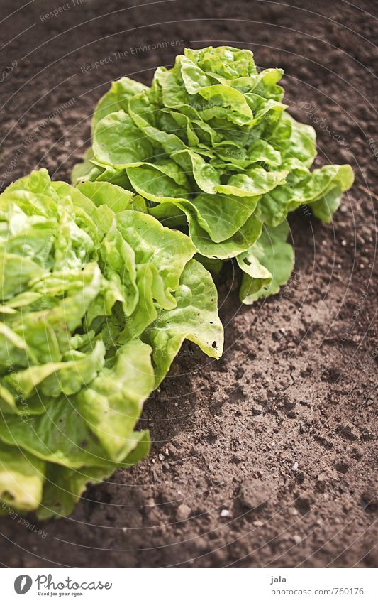 Nature Plant Leaf Environment Natural Healthy Garden Field Fresh Delicious Foliage plant Lettuce Agricultural crop