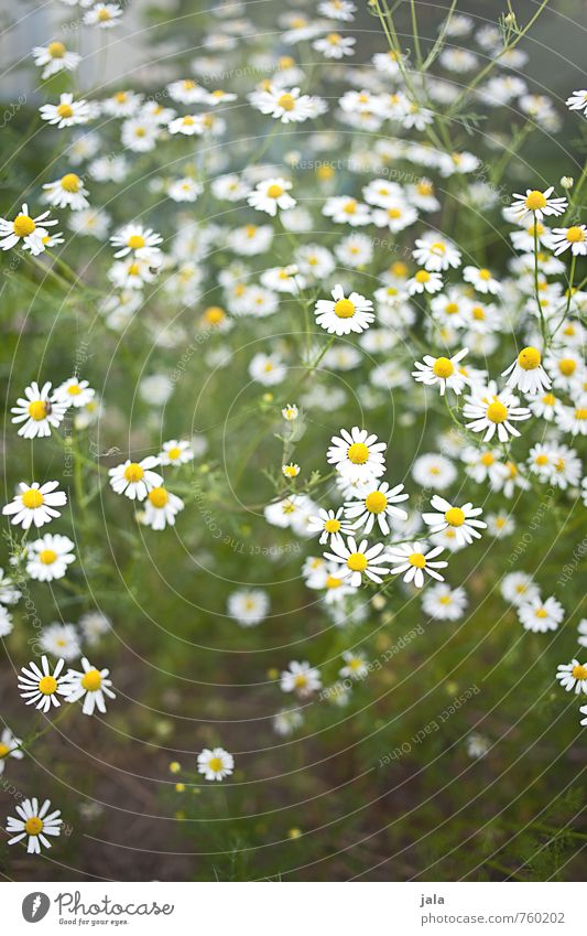 Nature Beautiful Plant Flower Environment Blossom Natural Healthy Garden Fresh Esthetic Agricultural crop Chamomile Camomile blossom