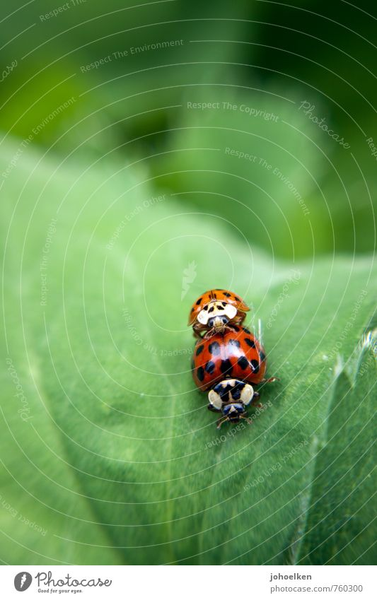 Doggy style? Plant Animal Bushes Leaf Wild animal Ladybird 2 Pair of animals Fight Crawl Love Make Sex Carrying Eroticism Brash Together Glittering Small Near
