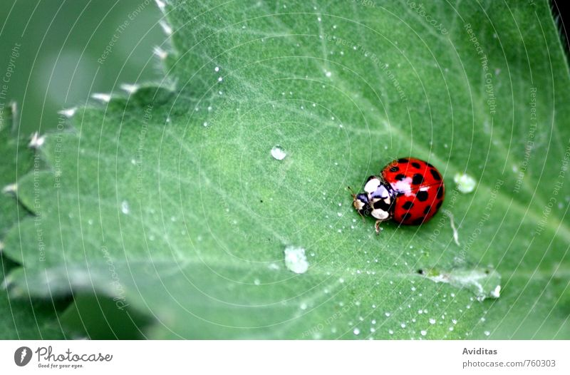 Ladybird on the way Environment Nature Plant Animal Drops of water Summer Climate Climate change Bad weather Rain Thunder and lightning Leaf Garden Park Meadow