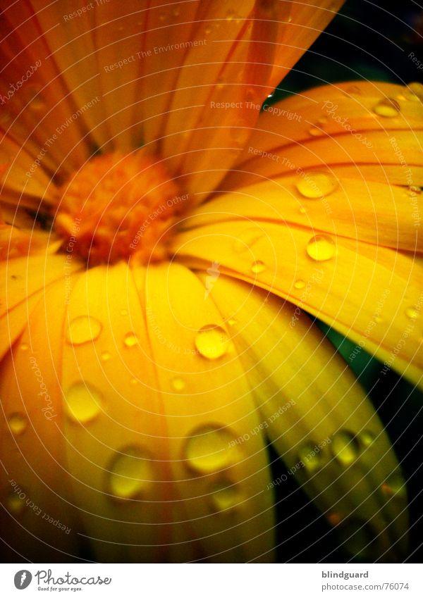 Beautiful Plant Summer Joy Yellow Life Blossom Garden Orange Rain Glittering Drops of water Romance Mysterious Delicate Bud