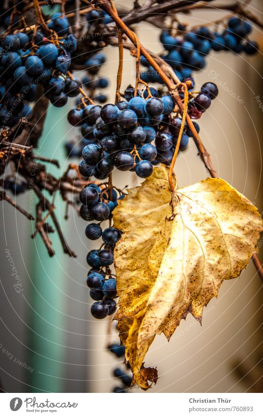 Blue Beautiful Leaf Environment Autumn Brown Moody Glittering Gold Esthetic Beautiful weather Sweet Joie de vivre (Vitality) Round Juicy Faded