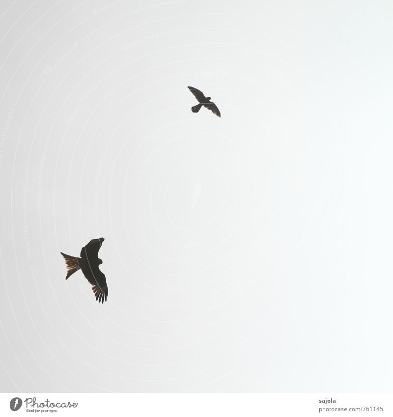 duel Animal Sky Sky only Cloudless sky Sunlight Wild animal Bird Red kite Kestrel Crested Harrier 2 Flying Fight Duel District vindicate Freedom Observe