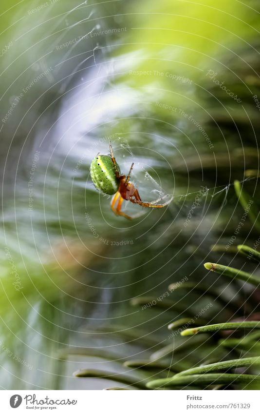 Green Spider ... Nature Animal yew needles pumpkin spider real spider Orb weaver spider Genuine wheel net spider Araneae araneomorphae araneidae araniella