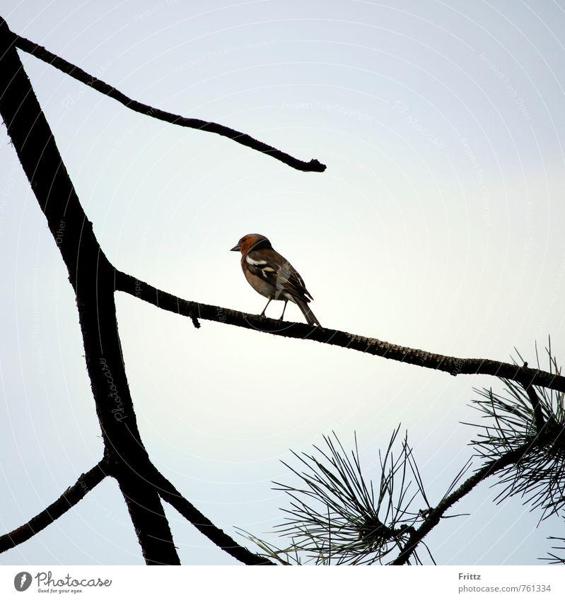 Chaffinch Nature Animal Tree Coniferopsida Pine Bird Songbirds Eurasian Bullfinch Fringillidae frigilla 1 Observe Sit Blue Brown Green Red Black White