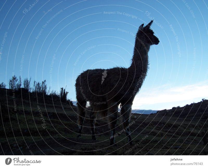 Lama in Peru Twilight Inca Black Llama Shadow Blue sky alpaca