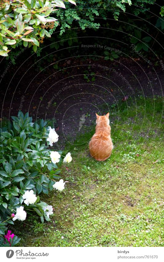 garden cat Spring Summer Plant Tree Peony Garden Meadow Pet Cat 1 Animal Sit Wait Friendliness Positive Contentment Calm Peace Nature Rear view Red-haired
