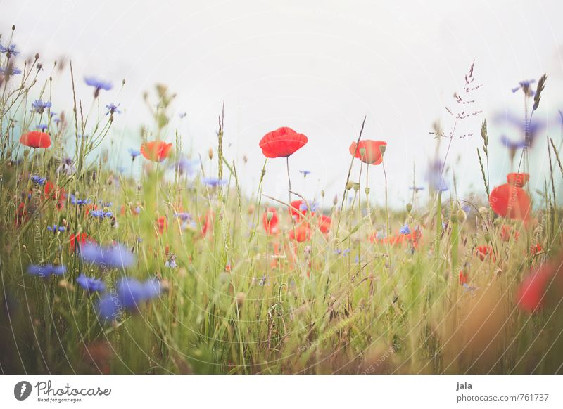 summer meadow Environment Nature Landscape Plant Summer Flower Grass Blossom Cornflower Poppy Meadow Esthetic Free Happiness Fresh Natural Wild Colour photo
