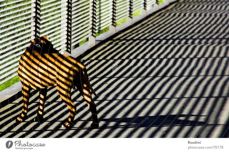 Dog Animal Architecture Dangerous Bridge Pelt Handrail Pet Tails Snout Monster Wilderness Dog lead Boxer Muzzle Mastiff