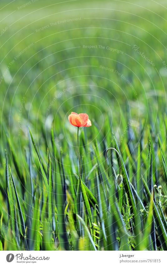 lonely Environment Nature Landscape Plant Summer Flower Grass Blossom Foliage plant Agricultural crop Wild plant Meadow Field Green Red Poppy blossom