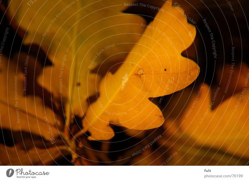 Nature Leaf Calm Yellow Lie End Oak tree Oak leaf