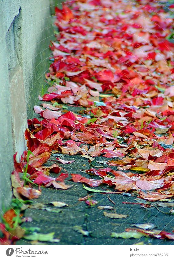 always along the wall! Rose leaves Downward Leaf Wall (building) House (Residential Structure) Red Carpet Autumn Autumn leaves Multicoloured Whim Wall (barrier)