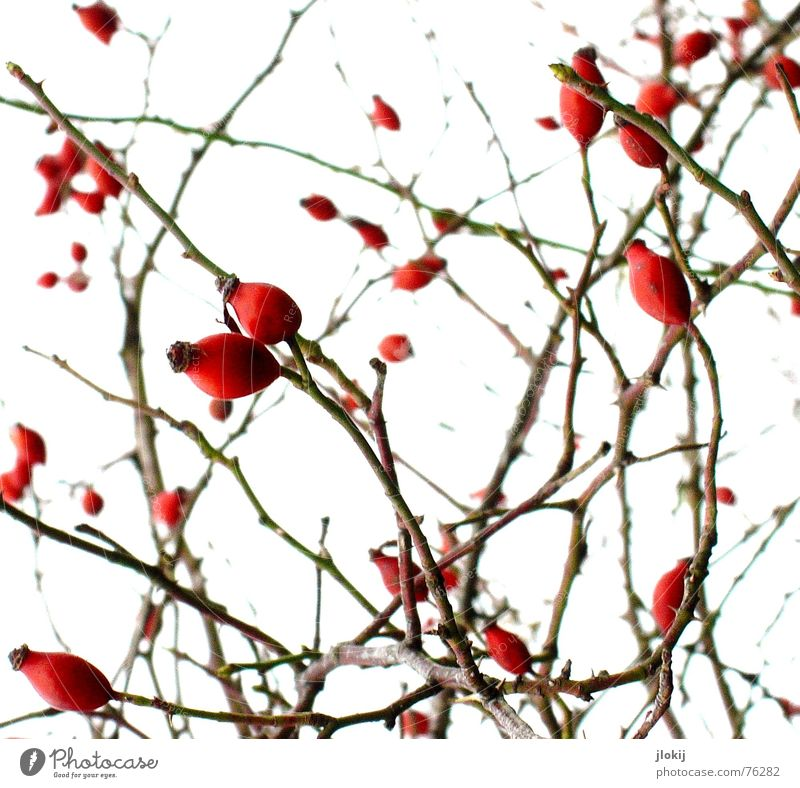 Stumbled Plant Scratch Red Thorny Bushes Autumn Cold Physics Sugar Sweetener Spoon To enjoy Background picture White Nature Growth Fruit itch muddled Branch