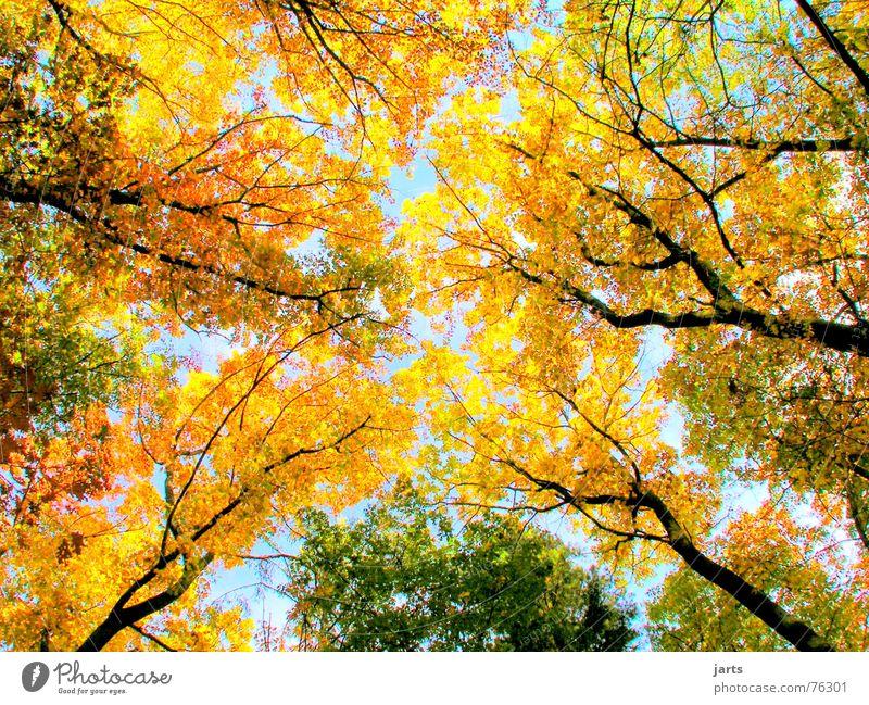 Nature Sky Tree Leaf Colour Forest Autumn Large Multicoloured Autumn leaves Automn wood