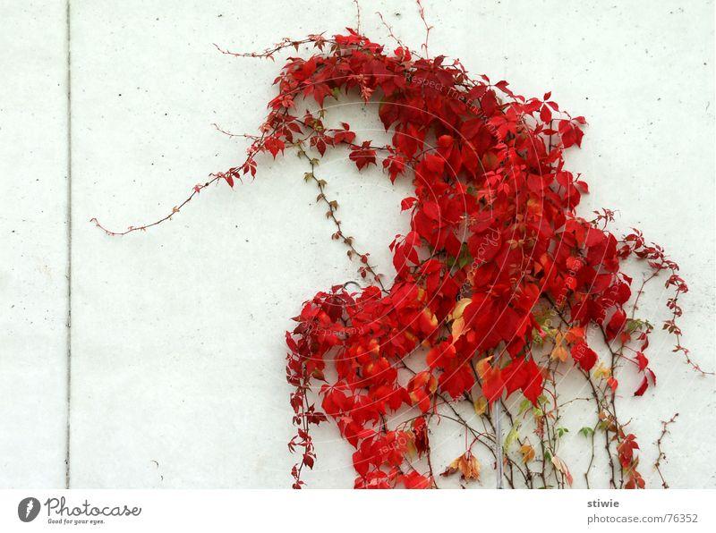 direction: true to line Tendril Plant Leaf Direction Red Autumn Garden Park dirction Line leaves