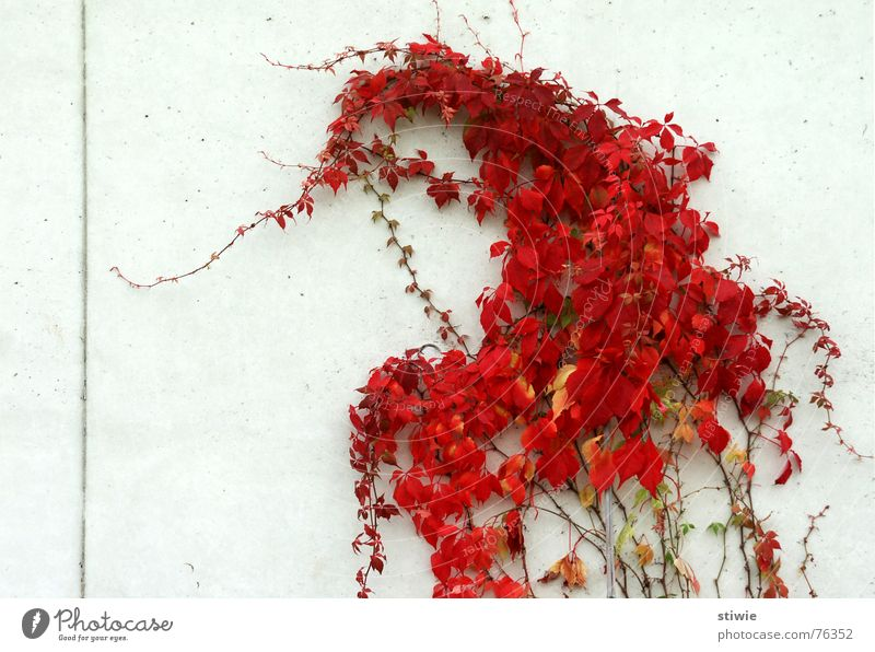 Plant Red Leaf Autumn Garden Park Line Direction Tendril