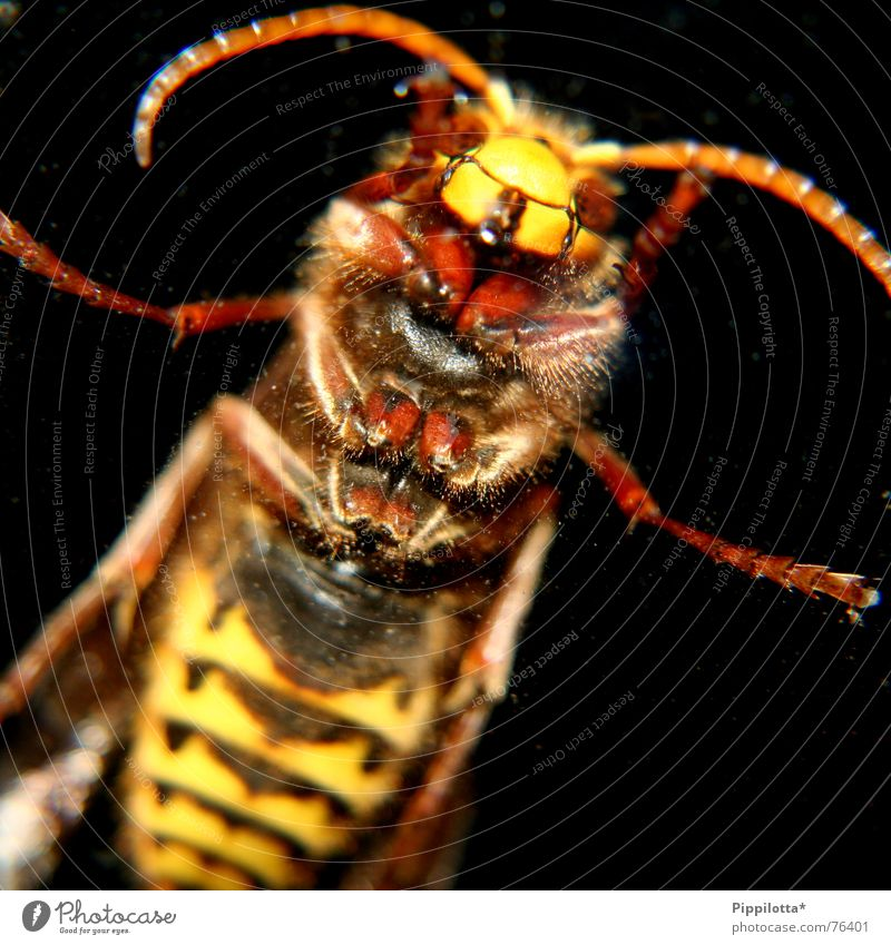 Hilde says: let me embrace you Hornet Insect Pierce Feeler Macro (Extreme close-up) Bite Pain Feet